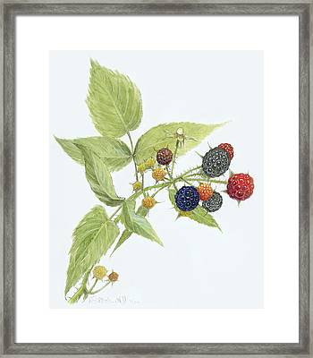 Black Raspberries Framed Print by Scott Bennett