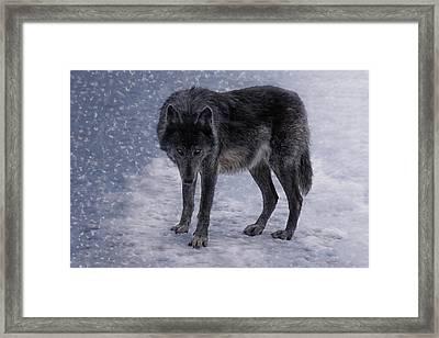 Black She-wolf Framed Print by Joachim G Pinkawa