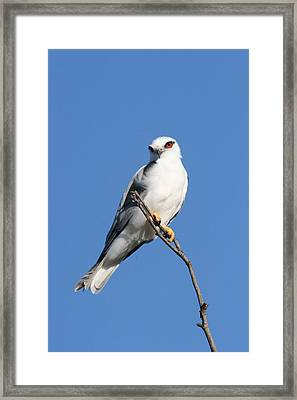 Black-shouldered Kite  Framed Print
