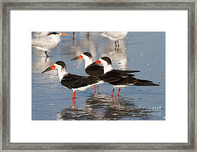 Black Skimmer Birds Framed Print by Chris Scroggins