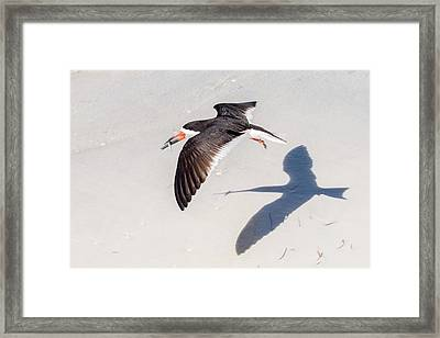 Black Skimmer, Fish And Shadow Framed Print