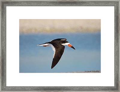 Black Skimmer In Flight Framed Print by Barbara Bowen