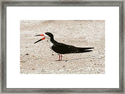Black Skimmer On Assateague Island Framed Print