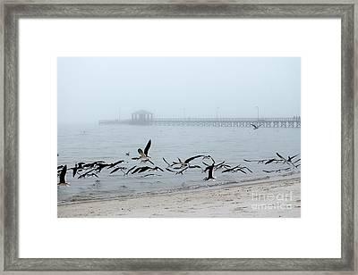 Black Skimmers - Biloxi Mississippi Framed Print