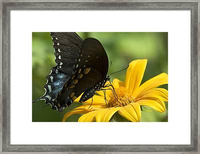 Black Swallowtail Drinking Framed Print