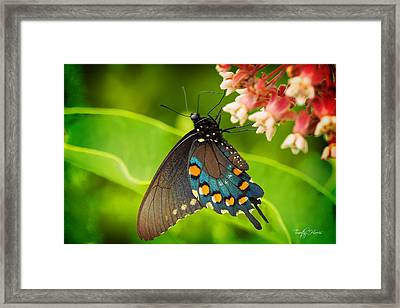 Black Swallowtail #1 Framed Print