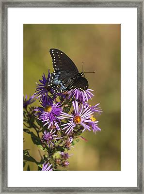 Black Swallowtail And Aster 2013-1  Framed Print by Thomas Young
