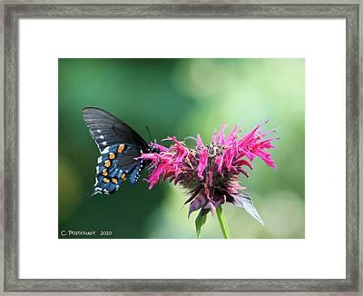 Black Swallowtail And Raspberry Fizz Monarda 2 Framed Print