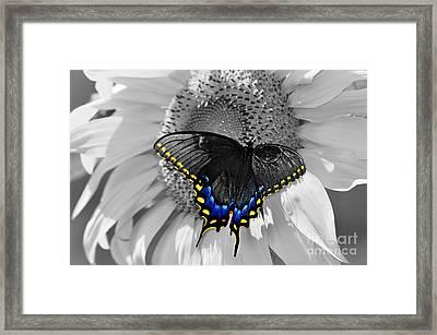 Black Swallowtail And Sunflower Color Splash Framed Print