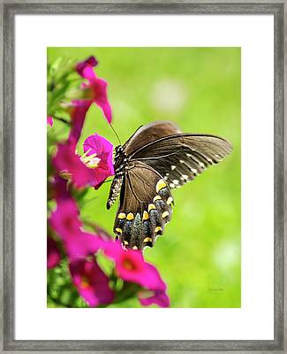 Framed Print featuring the photograph Black Swallowtail Butterfly by Christina Rollo