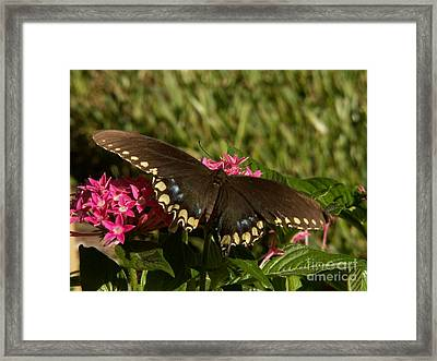 Black Swallowtail Butterfly On Pentas Framed Print
