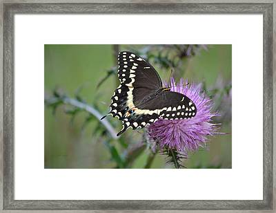 Black Swallowtail Butterfly - Papilio Polyxenes 1 Framed Print