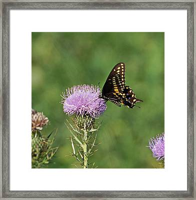 Framed Print featuring the photograph Black Swallowtail Butterfly by Sandy Keeton