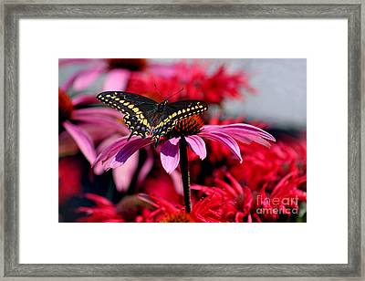 Black Swallowtail Butterfly With Coneflowers And Bee Balm Framed Print by Karen Adams