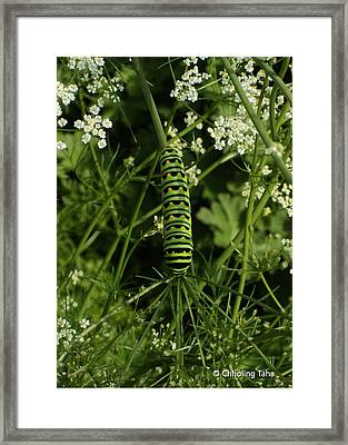 Framed Print featuring the painting Black Swallowtail Butteryfly Caterpillar by Chholing Taha