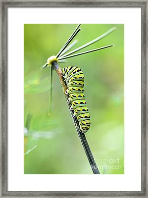 Black Swallowtail Caterpillar Framed Print by Debbie Green