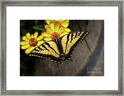 Black Swallowtail  Framed Print by Robert Bales