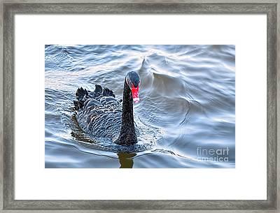 Black Swan 3 Framed Print by Kaye Menner