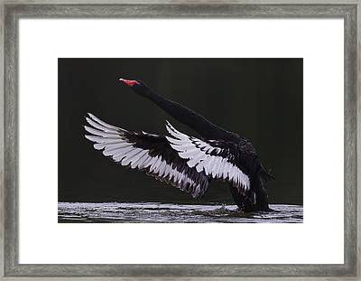 Black Swan Framed Print by C.s.tjandra