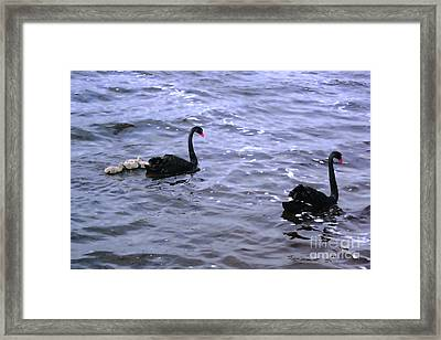 Black Swan Family Framed Print by Cassandra Buckley