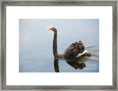 Black Swan Framed Print by Jan Daniels