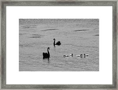 Black Swans, Tasmania 2015 Framed Print