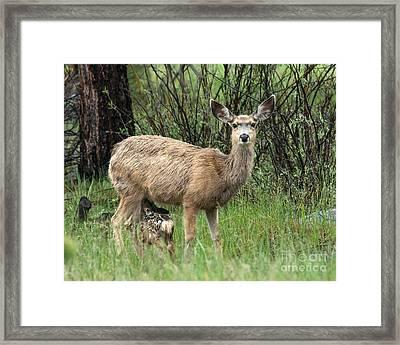 Black Tailed Deer Nursing A Newborn Framed Print