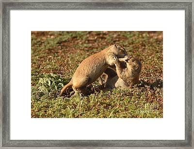 Black-tailed Prairie Dogs Wrestling Around Framed Print by Max Allen