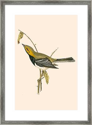 Black Throated Warbler Framed Print