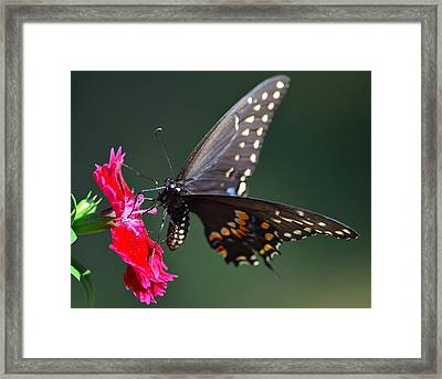 Black Tiger Swallowtail Framed Print