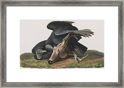 Black Vulture Or Carrion Crow Framed Print by John James Audubon