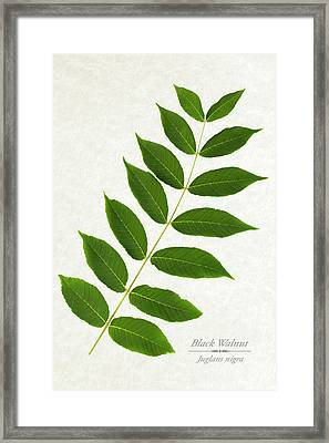 Black Walnut Framed Print by Christina Rollo