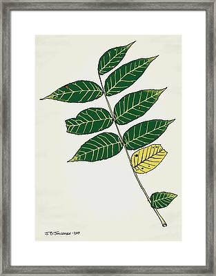 Black Walnut Leaf Illustration Framed Print by Jamie Jorgensen