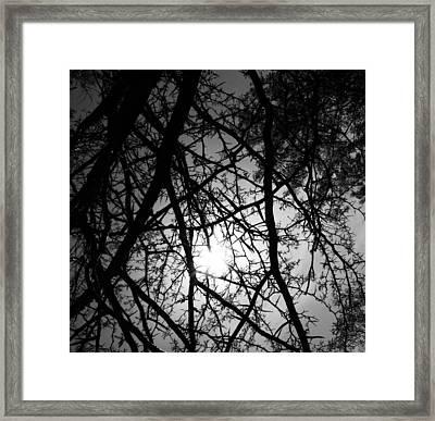 Black Walnut Spikes Framed Print by Anna Villarreal Garbis