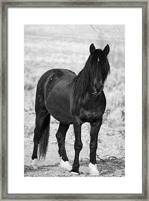 Black Wild Mustang Stallion Framed Print