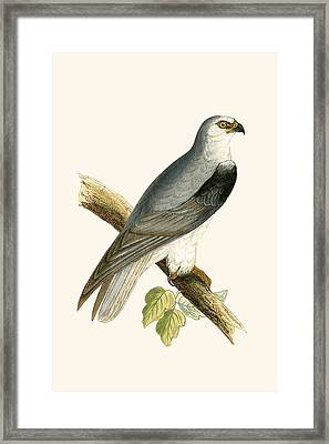 Black Winged Kite Framed Print by English School