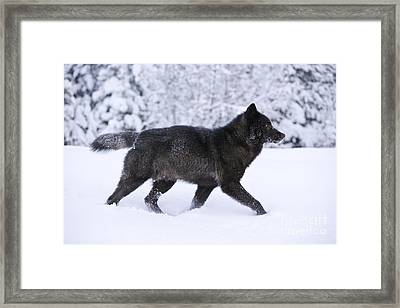 Black Wolf In Snow Framed Print by John Hyde - Printscapes