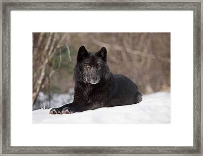 Black Wolf Framed Print by John Hyde - Printscapes