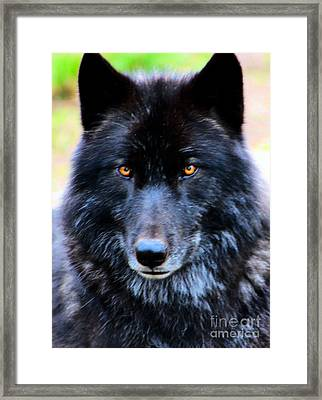 Black Wolf Framed Print