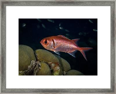 Blackbar Soldierfish Framed Print by Jean Noren