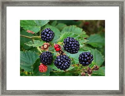Blackberries 2 Framed Print