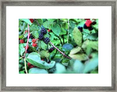 Blackberry  Framed Print by JC Findley