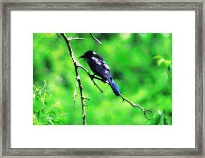 Blackbird Framed Print by Bill Cannon