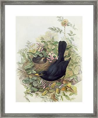 Blackbird,  Framed Print by John Gould