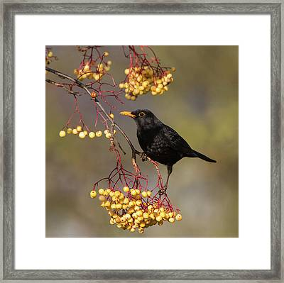 Blackbird Yellow Berries Framed Print