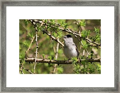 Blackcap Serenade Framed Print