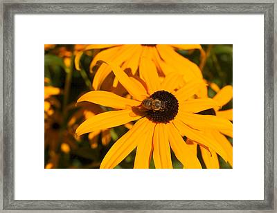 Blackeyed Beauty Framed Print by Beth Collins