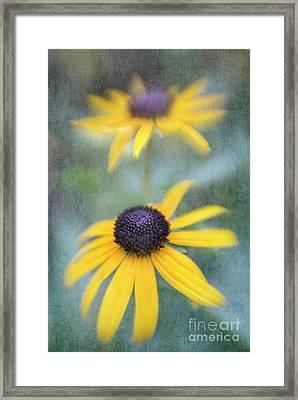 Blackeyed Susan Framed Print