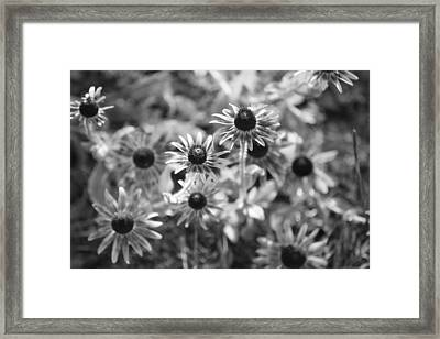 Blackeyed Susans In Black And White Framed Print by Paula Coley
