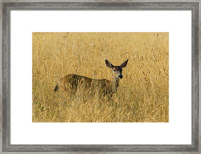 Blacktail Deer In Tall Grass Framed Print by Randall Ingalls